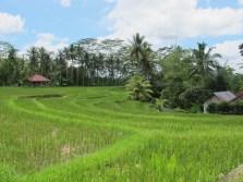 Rice terraces on the walk around Ubud
