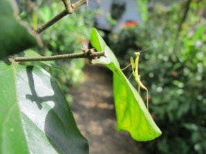 Small, maybe male mantis
