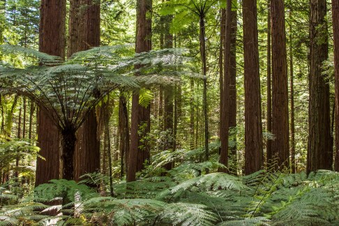 Redwoods forest and ferns