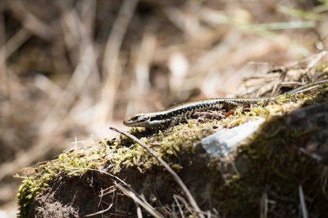 One of many small lizards we've seen so far