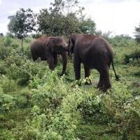 Sri Lanka Diaries: Seeing Elephants at Uda Walawe National Park