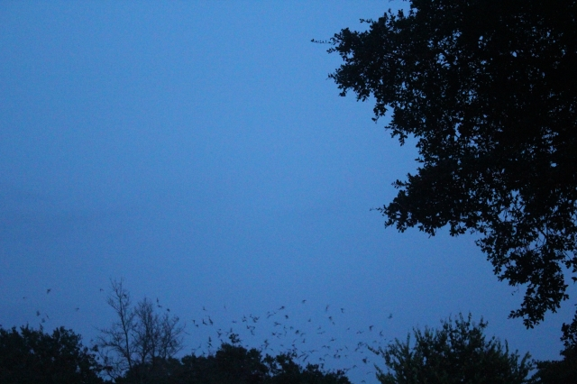 More bats emergence at Old Tunnel SP, Fredericksburg, TX.