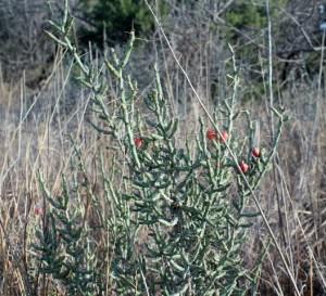 Pointy pencil cactus.