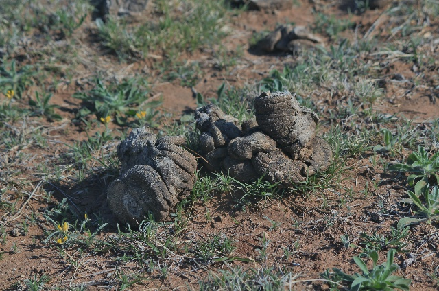 Once dry, bison scat is good for starting fire. Caprock Canyons SP, TX.