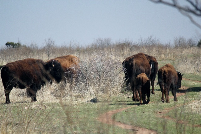 Bison grazing on grass at Canyon Rim Spur Trail, Caprock Canyons SP, TX.