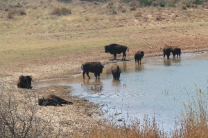 Herd of bison at Lake Theo, Caprock Canyons SP, TX.