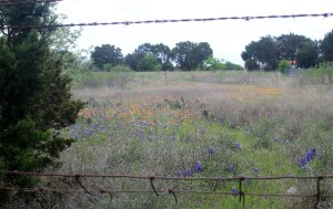 Wildflowers behind fences on our hiking at Cleburne State Park, Texas.