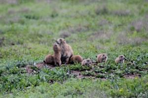 Wichita Mountains Wildlife Refuge: the little family at Prairie Dog Town.