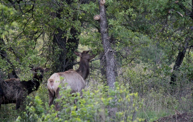 Wichita Mountains Wildlife Refuge: the elk in the early morning.