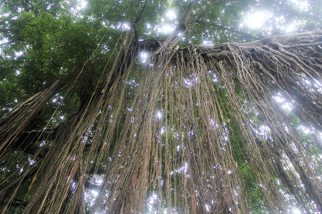 Visiting Bali with a 10-year-old boy: Ubud Monkey Forest: banyan tree roots