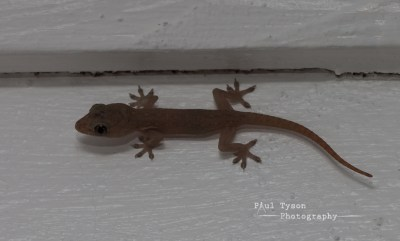 Gecko, great for eating mosquitoes!