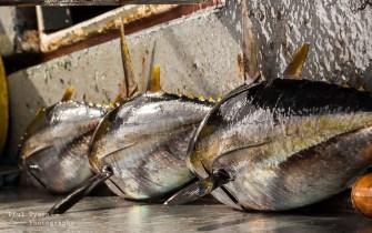 Three beautiful Tuna