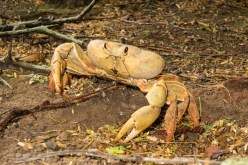 Ascension land crabs, this ones a girl