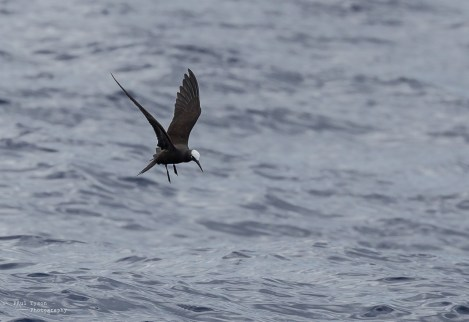Brown Noddy fishing