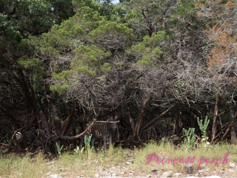 藏在樹叢中的斑馬
