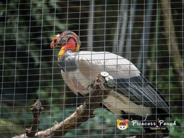Fort Worth Zoo King Vulture 國王禿鷹