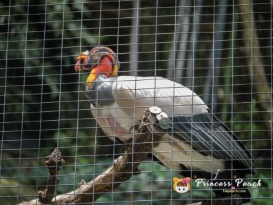 Fort Worth Zoo King Vulture 國王禿鷹