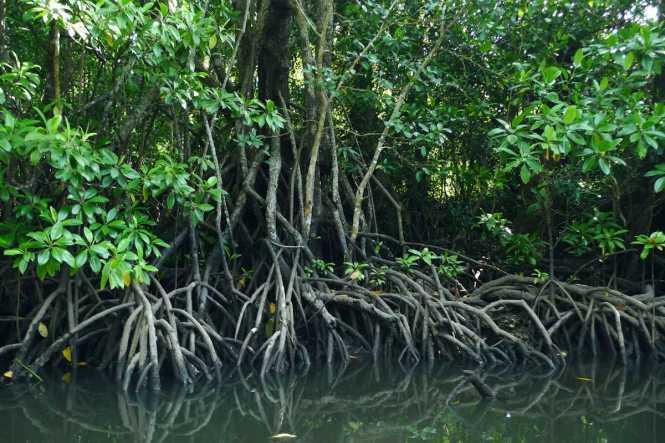 PalawanHoneymoon-Mangrove-ppur