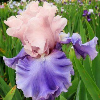 Iris A - Z