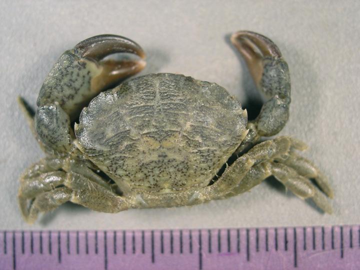 Image result for Eurypanopeus depressus