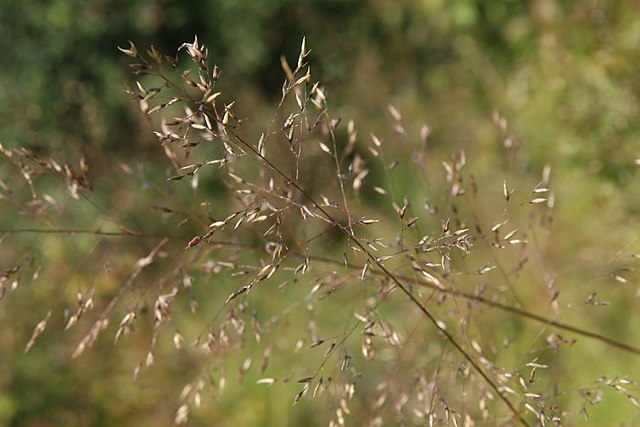 Closeup_Prairie Dropseed_Sporobolus_heterolepis_11zz
