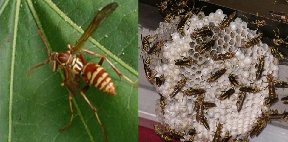 paper-wasps