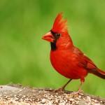 Photo of Cardinal