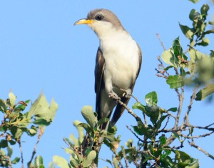 Yellow-billed-Cuckoo