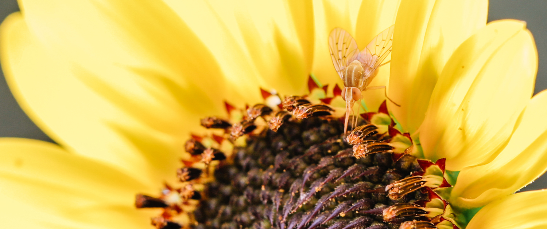 Pollinator on Sunflower