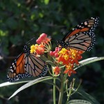 Monarch Butterflies on Lantana photo: Chuck Duplant