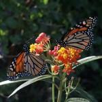 Monarch Butterflies on Lantana photo: Chuck Duplant