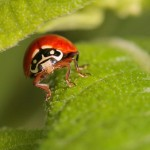 Lady Bug photo: Greg Lavaty