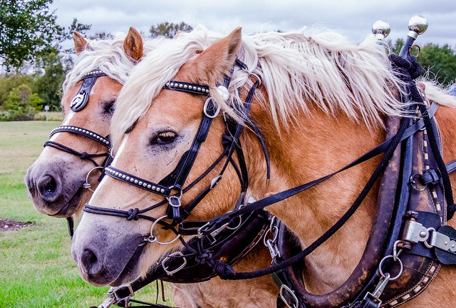 20151107 33 – Wagon Master Horses