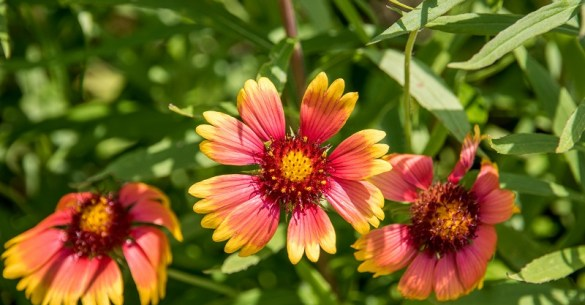 Indian Blanket 2016-John Chitty-resized