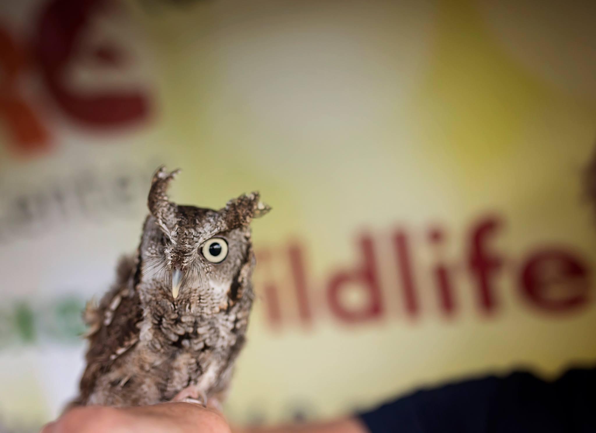 screech owl-PHF-2017-RKuykendall