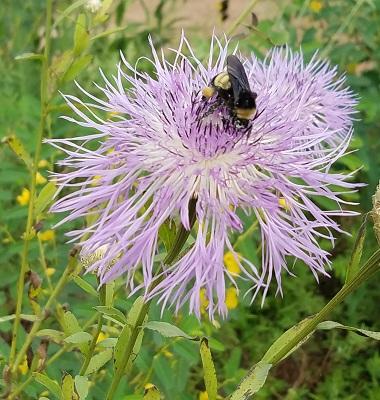 bee on basketflower