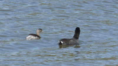Least Grebe on left