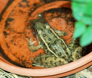 Pickerel Frog - Diane Eismont