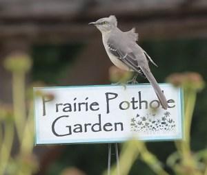 Mockingbird on garden sign at Seabourne Creek Nature Park