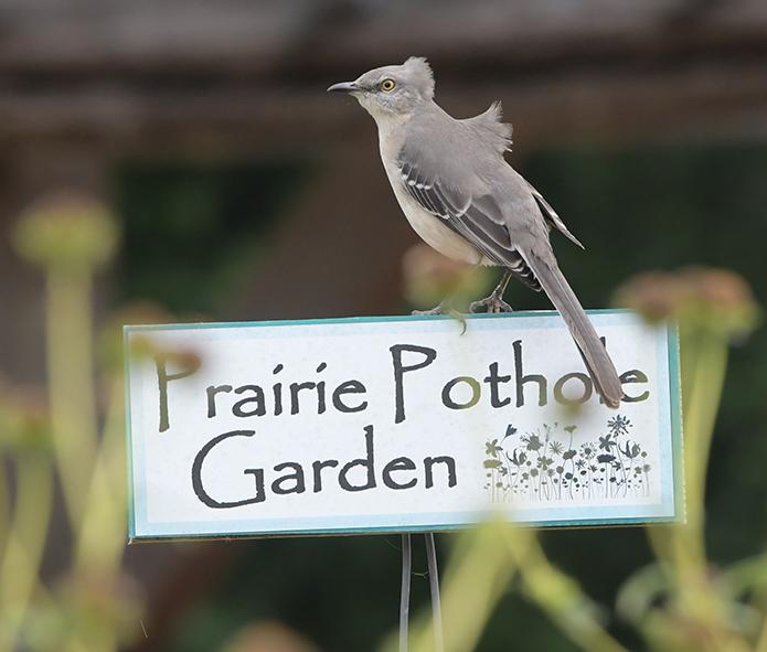 Mockingbird on garden sign at Seabourne Creek Nature Park.