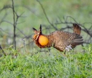 Attwater's Prairie Chicken_Erik Wolf