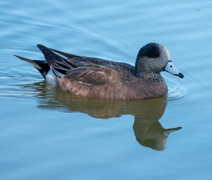 American Wigeon at Seabourne