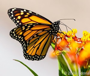 Monarch Butterfly by TMNCPC member John Donaho