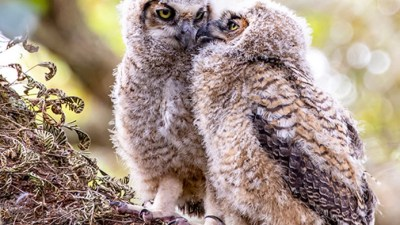 Owlets photo by Joyce Tipton