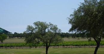 Vineyard at Florence - vineyard