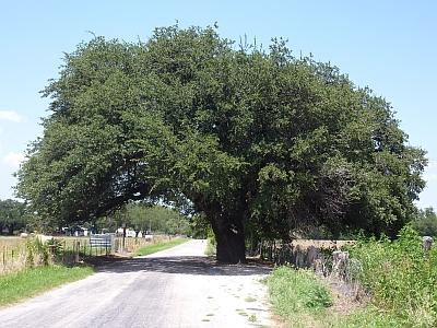 Wedding Oak Winery - tree