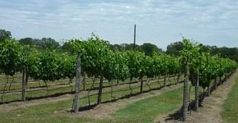 Peach Creek - vineyard
