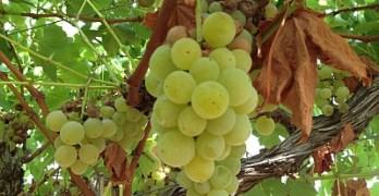 Paradox - grapes on vine