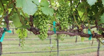 Perissos grapes