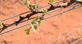 High Plains grapes budding